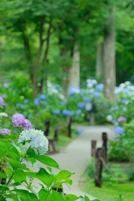 三千院紫陽花の撮影スポット