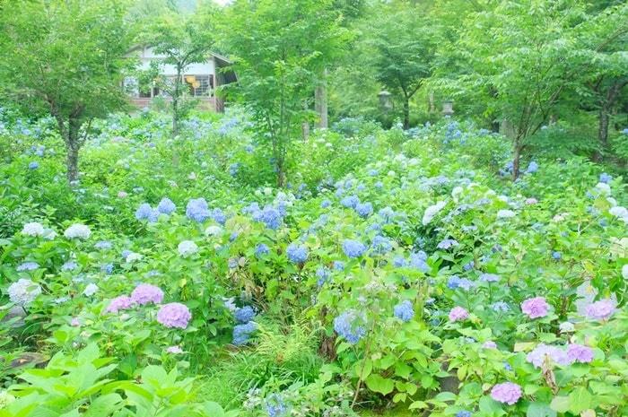 京都紫陽花の撮影スポット 三千院