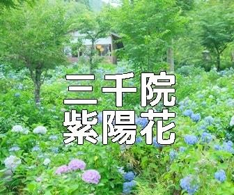 京都・紫陽花の撮影スポット三千院