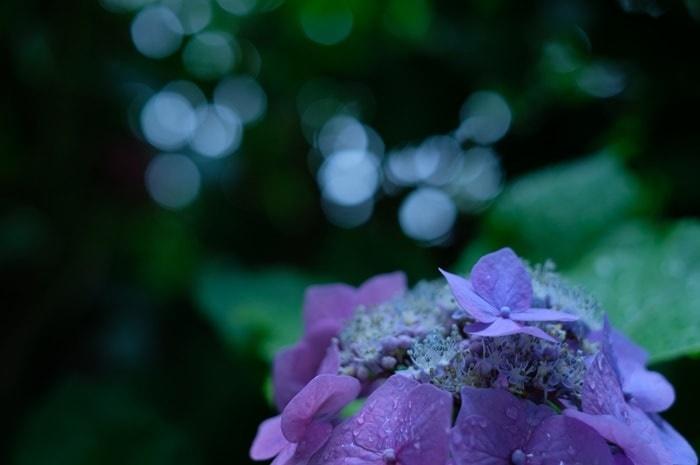 真如堂の紫陽花撮影スポット