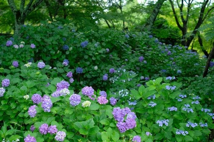 真如堂 紫陽花の撮影スポット