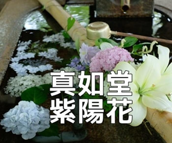 京都・紫陽花の撮影スポット・真如堂