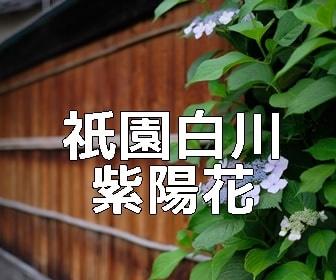 京都・紫陽花の撮影スポット・祇園白川