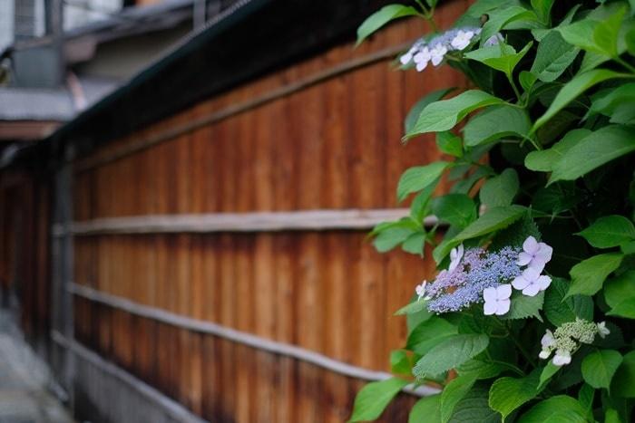 京都の紫陽花撮影スポット 祇園白川
