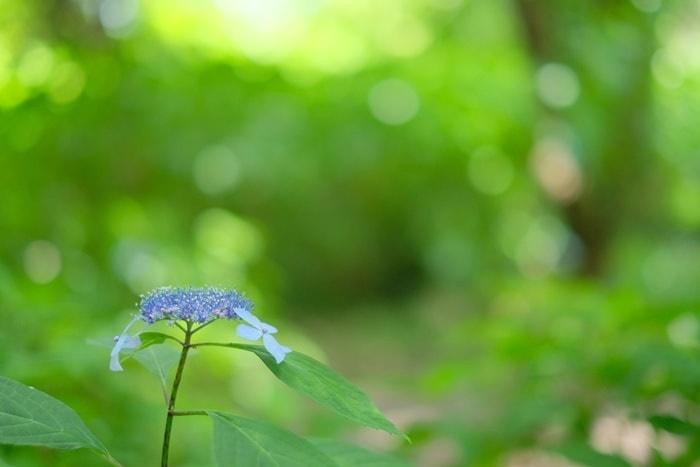 クロヒメヤマ紫陽花