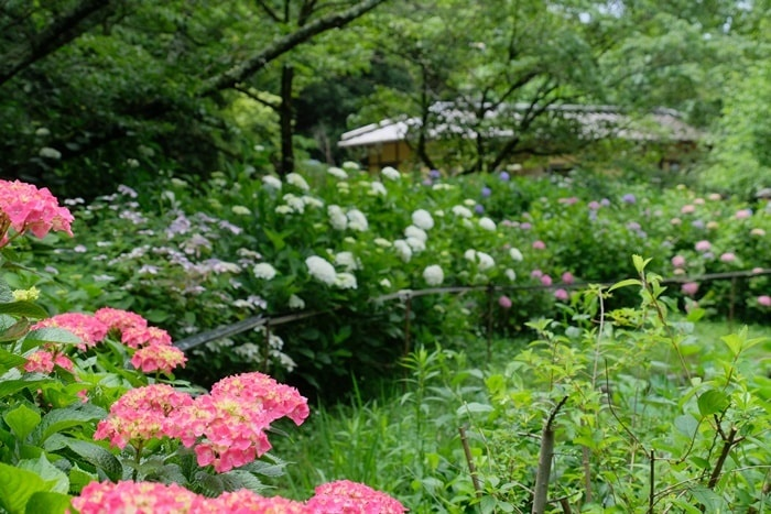 京都府立植物園の紫陽花撮影スポット