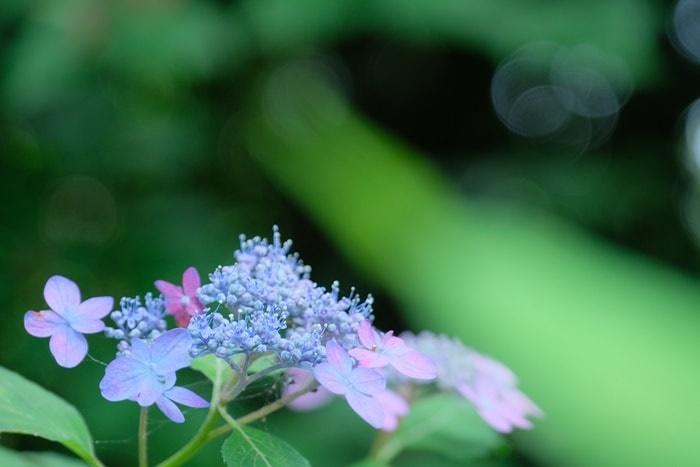 京都・紫陽花の撮影スポット 京都府立植物園