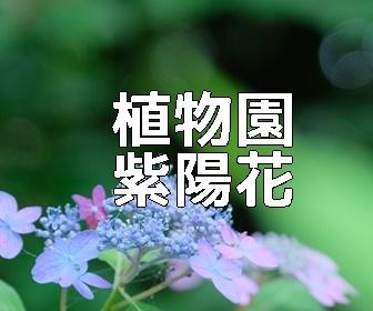 京都・紫陽花の撮影スポット・植物園