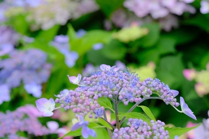 梅宮大社の紫陽花撮影スポット