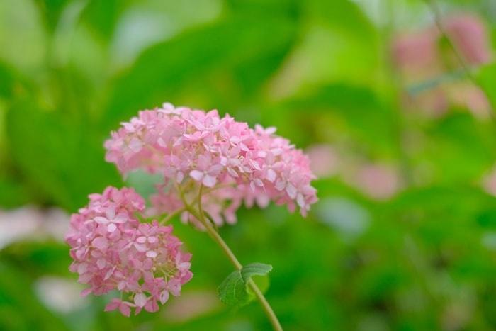 梅宮大社の紫陽花の撮影スポット