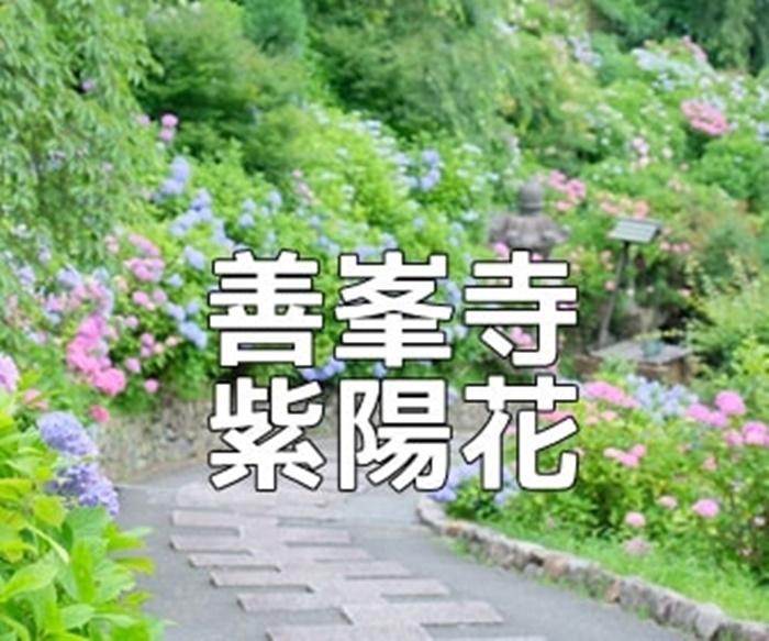 京都・紫陽花の撮影スポット善峯寺