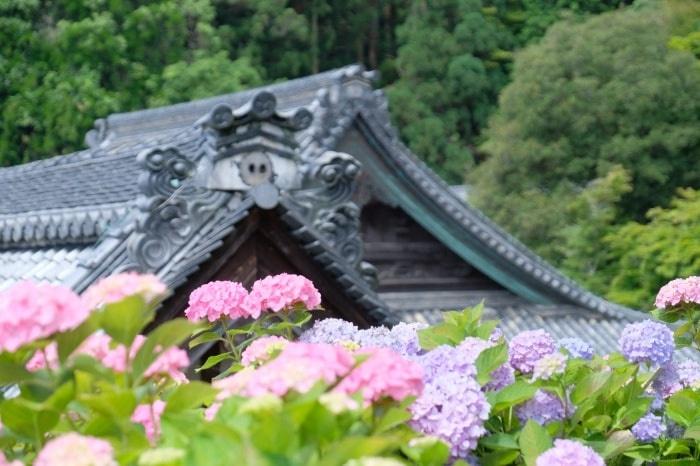 楊谷寺の紫陽花 撮影スポット
