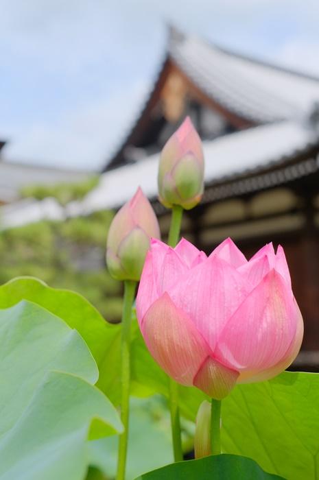 京都蓮の撮影スポット・法金剛院