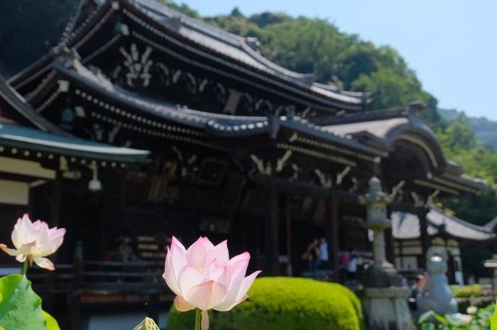 三室戸寺蓮の撮影スポット