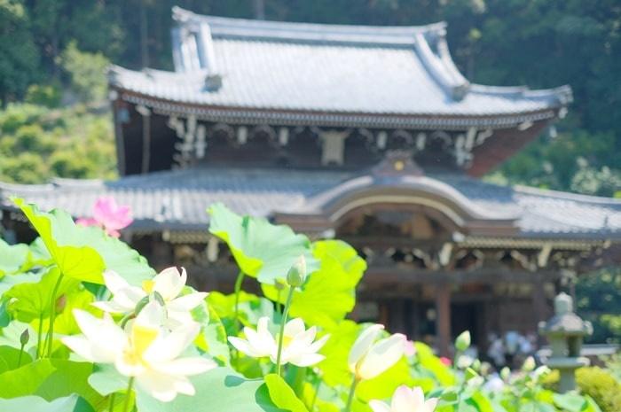 京都蓮の撮影スポット三室戸寺