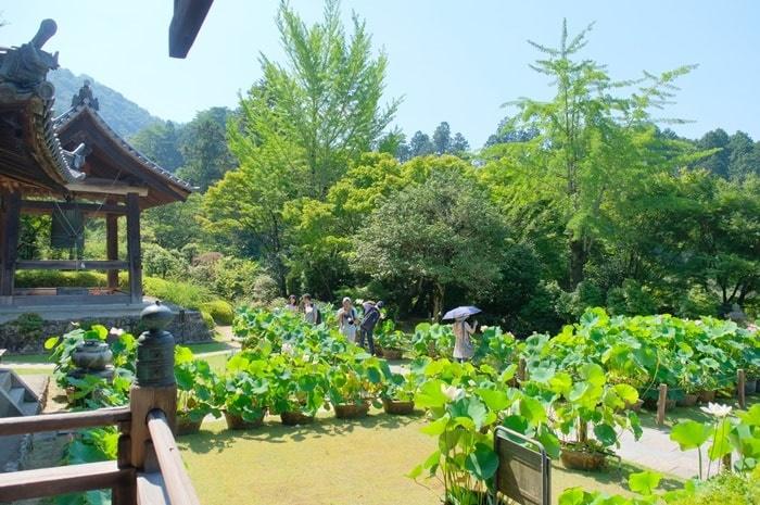 三室戸寺 蓮の撮影スポット