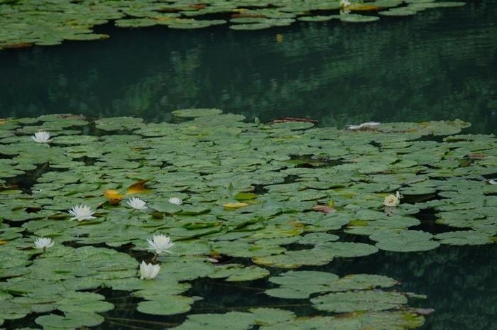 長岡天満宮八条ヶ池の睡蓮の撮影の撮影スポット