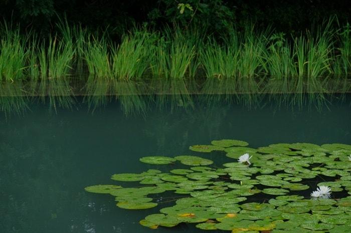長岡天満宮八条ヶ池の蓮・睡蓮の見頃