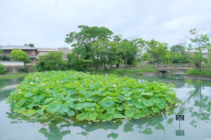長岡天満宮八条ヶ池の蓮の撮影の撮影スポット