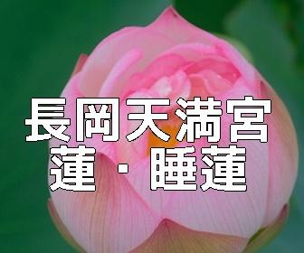 京都・蓮とスイレンの撮影スポット・長岡天満宮八条ヶ池
