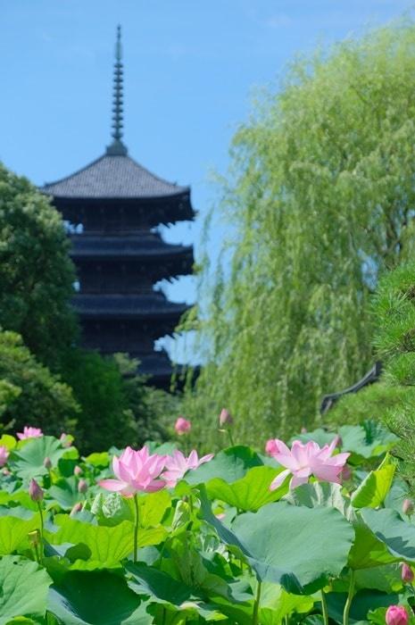 京都・蓮の撮影スポット東寺