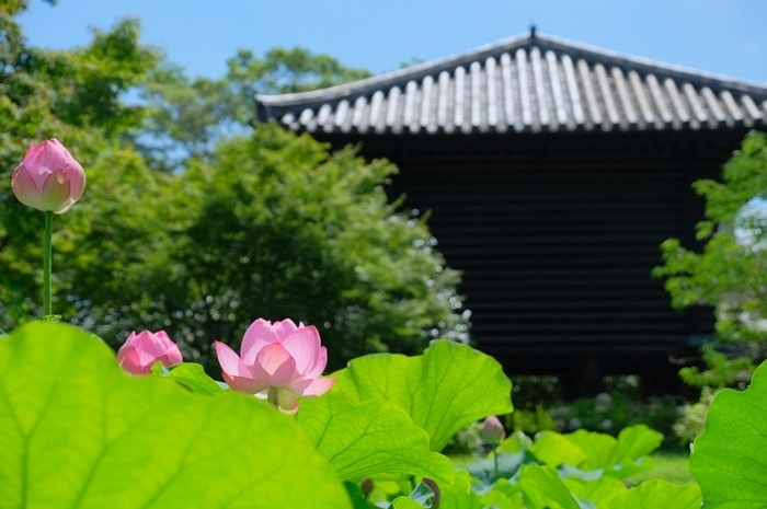東寺の蓮・撮影スポット