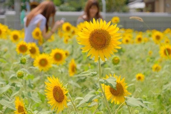 京都のひまわり撮影スポット 向日市ひまわり畑