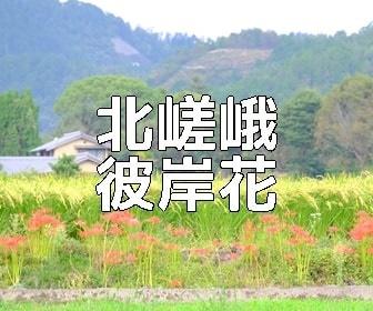 京都彼岸花の撮影スポット・北嵯峨周辺