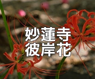 京都・彼岸花の撮影スポット 妙蓮寺