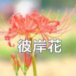 京都 彼岸花の撮影スポット