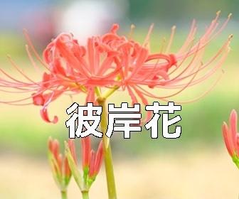 京都・彼岸花の写真スポット