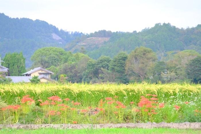 北嵯峨の彼岸花の撮影スポット