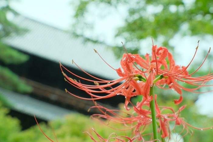 南禅寺 彼岸花の撮影スポット