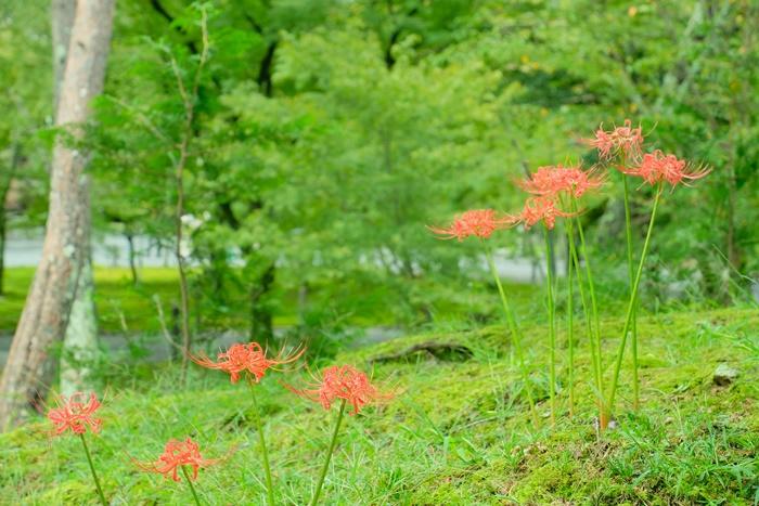 京都彼岸花の撮影スポット 南禅寺