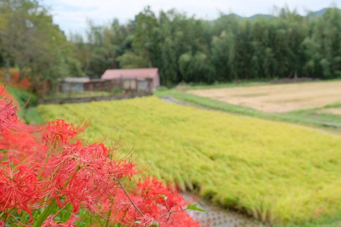 京都彼岸花の撮影スポット 大原