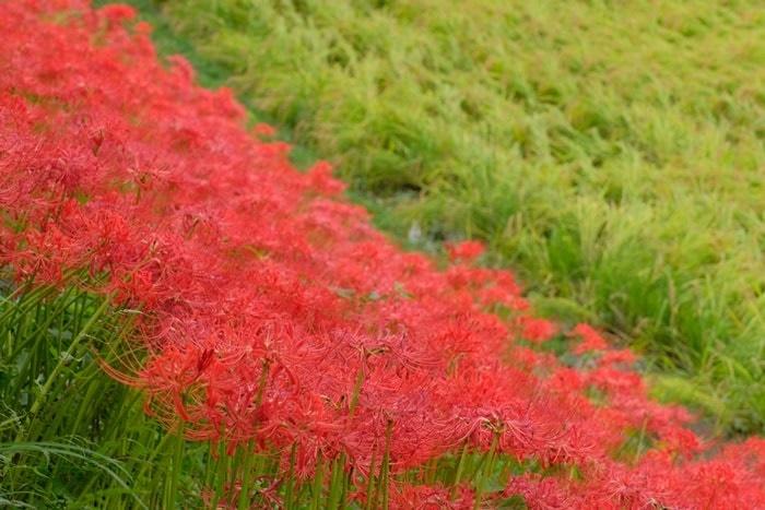 京都大原の彼岸花撮影スポットのおすすめ度