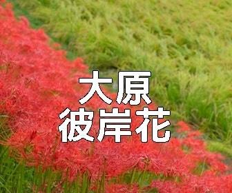 京都・彼岸花の撮影スポット 大原周辺