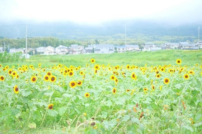 京都ひまわり撮影スポット 大原野 ひまわり畑