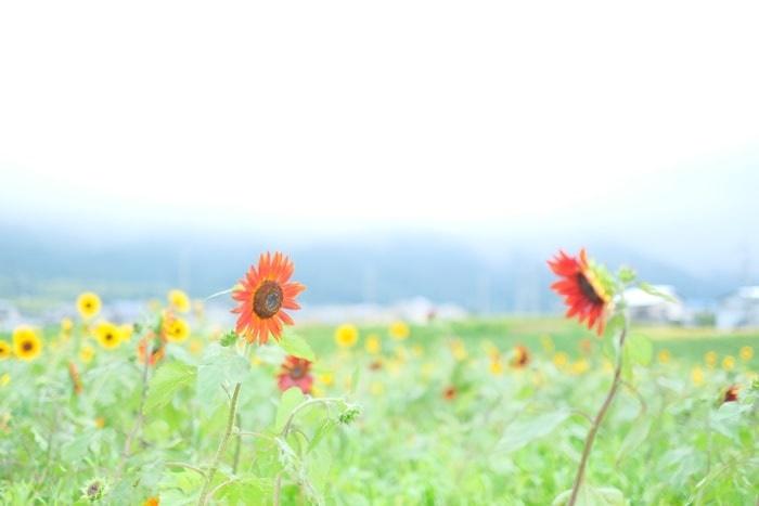 大原野ひまわり畑の撮影スポット