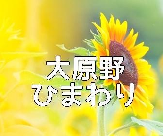 京都ひまわりの撮影スポット・大原野ひまわり畑