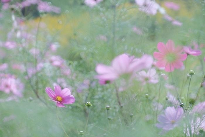 嵐山・高雄パークウェイ・コスモスの撮影スポット