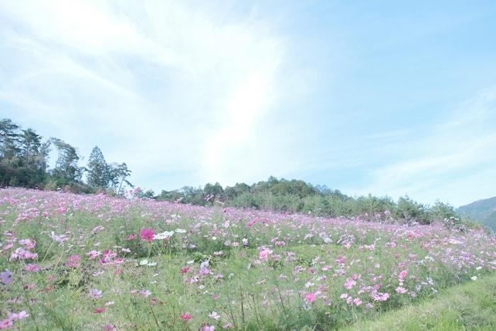 京都・コスモスの撮影スポット 嵐山パークウェイ