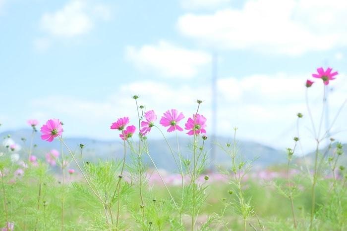 恭仁宮跡のコスモス撮影スポット