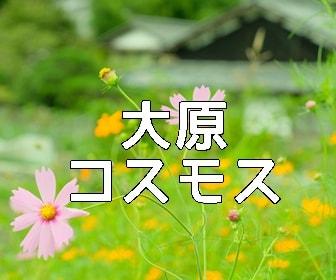 京都・コスモスの撮影スポット 大原