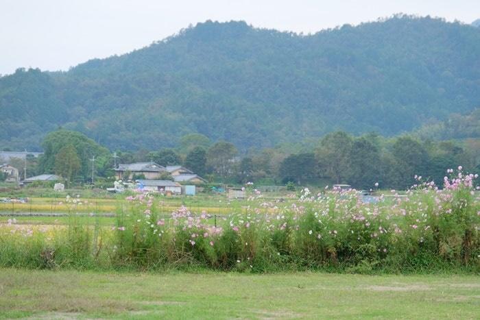 広沢池西側のコスモスの撮影スポット