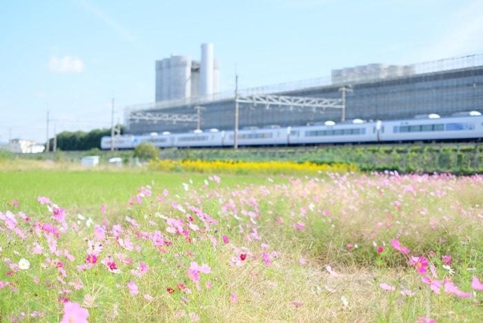 サントリー京都工場横のコスモス撮影スポット
