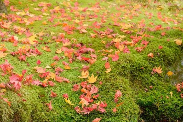 永観堂 フォトジェニックな紅葉撮影スポット 苔の上に紅葉
