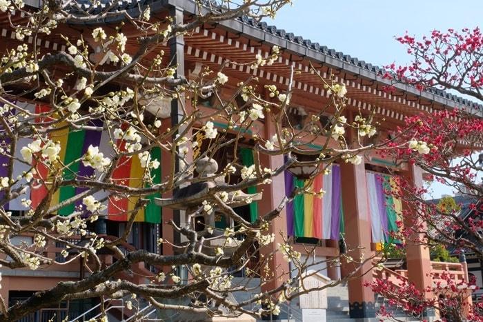 五色幕を背景に撮る智積院の梅 撮影スポット