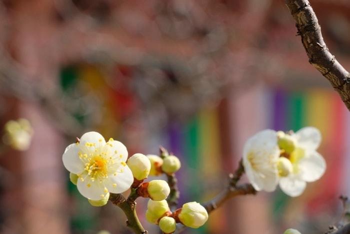 智積院 五色幕を背景に撮る 梅の撮影スポット
