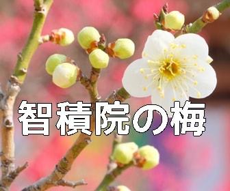 京都・梅の撮影スポット・智積院